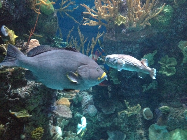 Caribbean Reef exhibit, Shedd Aquarium, Chicago, Illinois