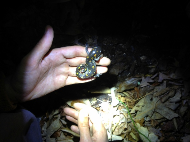 Holding a spotted salamander during night hike on Sewanee Domain, Sewanee, Tennessee