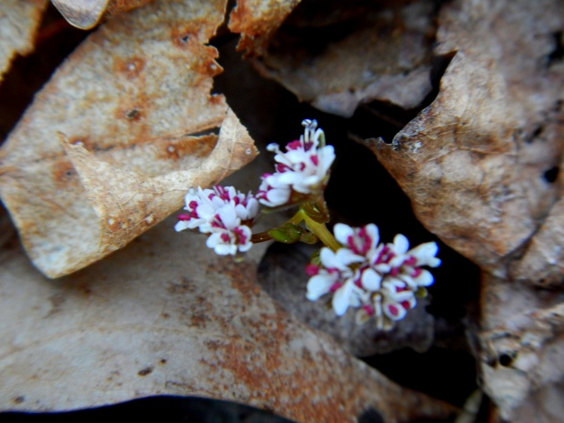 Harbinger of Spring along Perimeter Trail, Sewanee, Tennessee