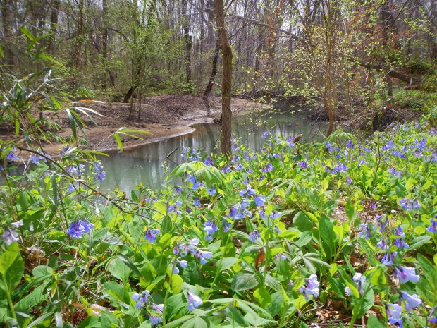 Bluebell patch on the banks of the Elk River, Bluebell Island, Tennessee