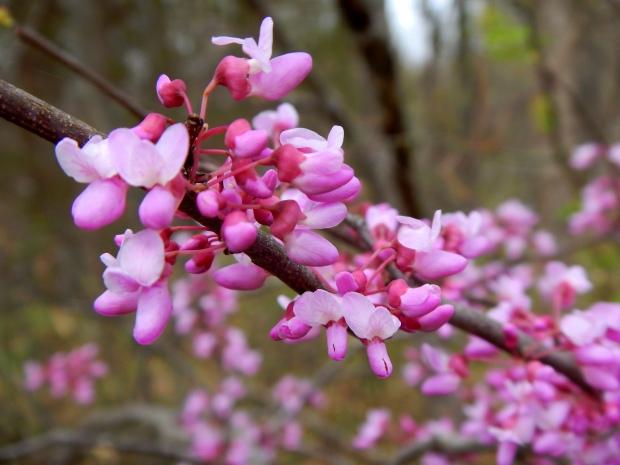 Redbud trees, Bluebell Island, Tennessee