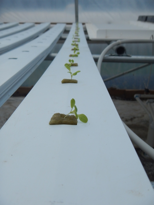 First trays planted! Power Greens Greenhouse, Tracy City, Tennessee