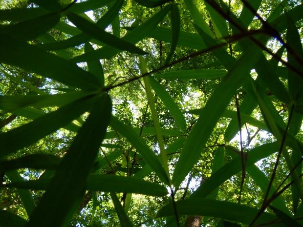 Bamboo along Weston Lake Loop, Congaree National Park, South Carolina