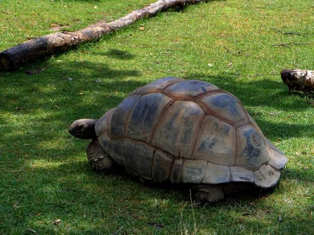 Galapagos tortoise, Philadelphia Zoo, Philadelphia, Pennsylvania