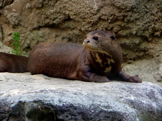 Awake! Giant River Otter, Philadelphia Zoo, Philadelphia, Pennsylvania