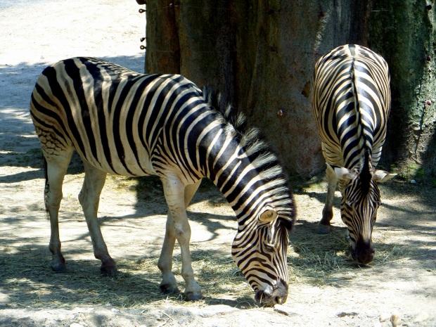 Zebras, Philadelphia Zoo, Philadelphia, Pennsylvania