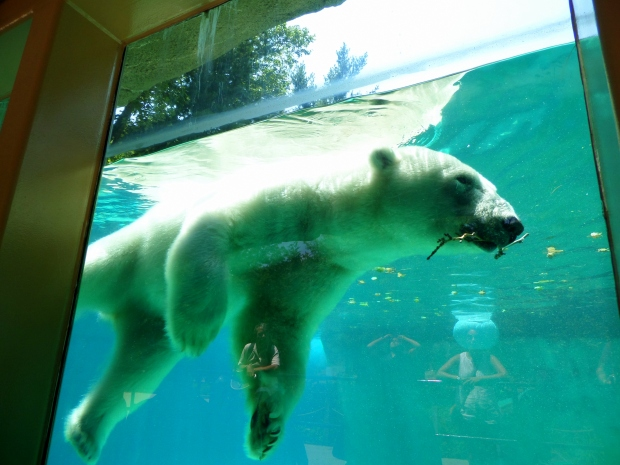 Another shot of the polar bear swimming, Philadelphia Zoo, Philadelphia, Pennsylvania
