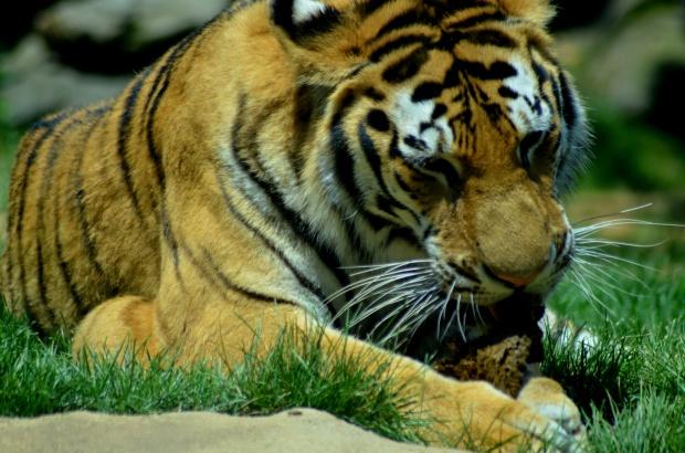 Tiger, Philadelphia Zoo, Philadelphia, Pennsylvania (Picture by Tina)