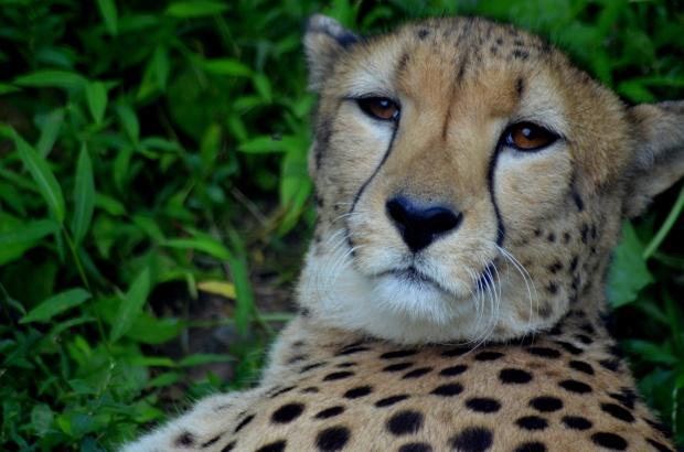Cheetah, Philadelphia Zoo, Philadelphia, Pennsylvania (Picture by Tina)