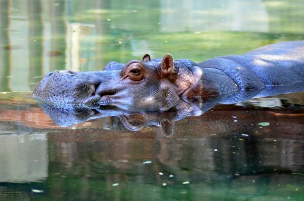 Hippo, Philadelphia Zoo, Philadelphia, Pennsylvania (Picture by Tina)
