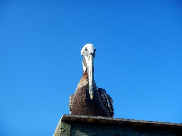 Pelican, Kure Beach Pier, Kure Beach, North Carolina