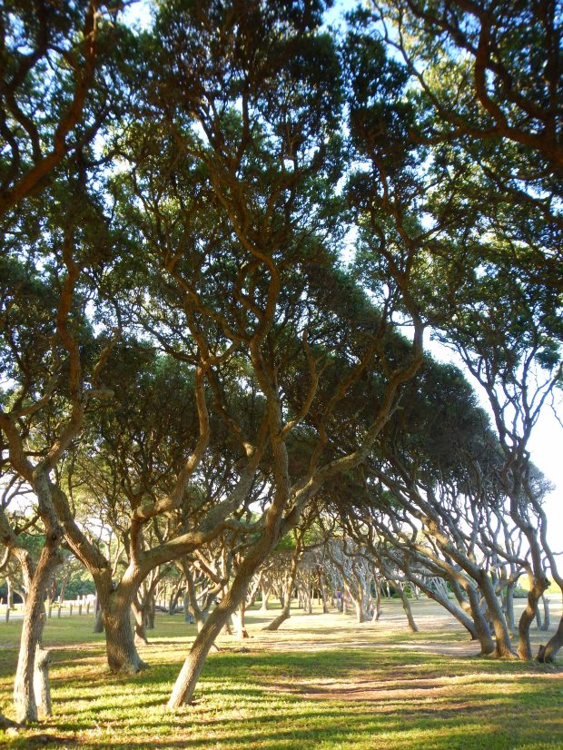 Gnarled live oaks, Fort Fisher, North Carolina