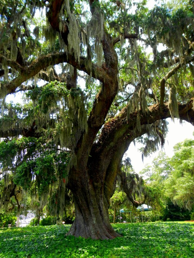 400-year old oak, Airlie Gardens, Wilmington, North Carolina