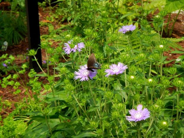 Giant Swallowtail, Butterfly Garden, Airlie Gardens, Wilmington, North Carolina
