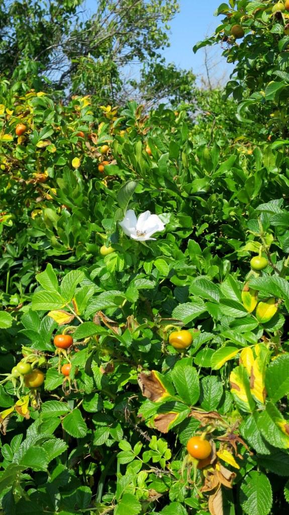 Fruit and flowers on trailside scrub, Ninigret Wildlife Refuge, Charlestown, Rhode Island