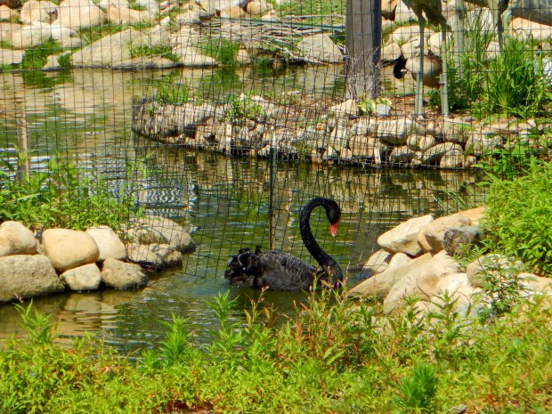 Black swan, Block Island, Rhode Island