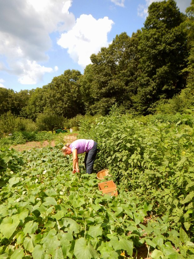 Belinda harvesting cucumbers, Stonyledge Farm, Clarks Falls, Connecticut