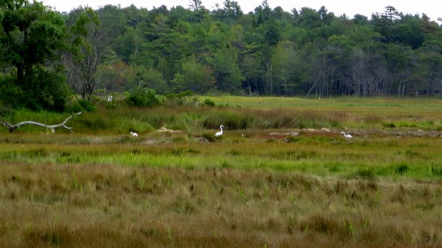Egrets, Rachel Carson National Wildlife Refuge, Maine