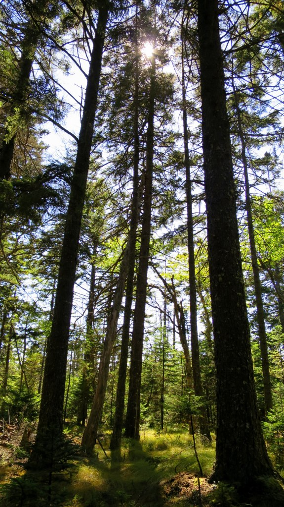Towering trees, Great Wass Island Preserve, Great Wass Island, Maine
