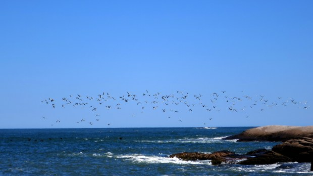 Birds in flight, Great Wass Island Preserve, Great Wass Island, Maine