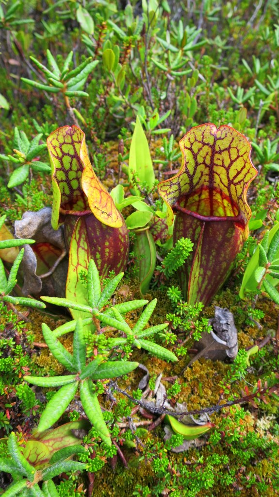 Pitcher plants, Nature Trail, New River Beach Provincial Park, New Brunswick, Canada