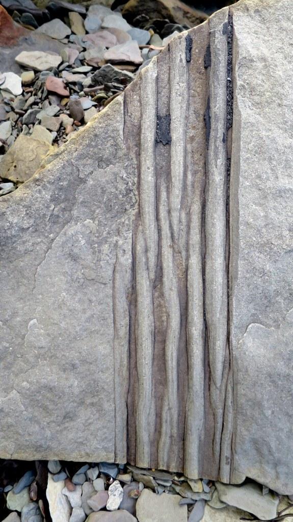 Sigillaria tree trunk, Joggins Fossil Cliffs, Nova Scotia, Canada
