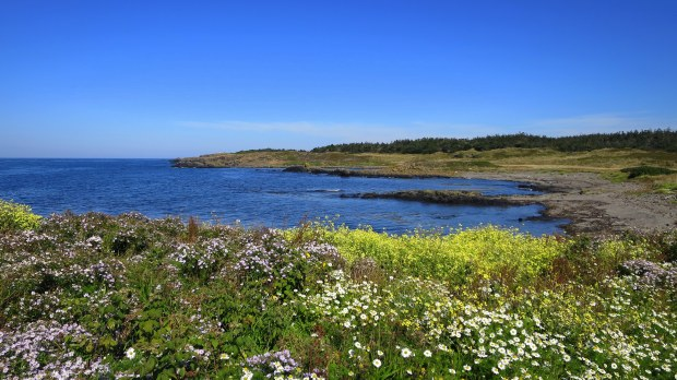 Wildflowers, Coastal Trail, Brier Island Nature Preserve, Nova Scotia, Canada
