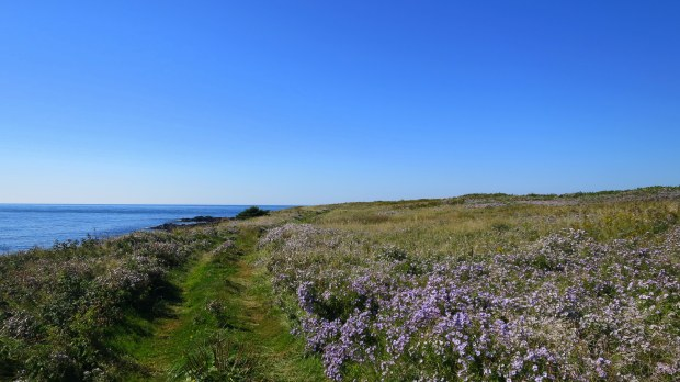 More wildflowers on Coastal Trail, Brier Island Nature Preserve, Nova Scotia, Canada