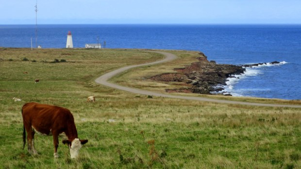 Grazing cow in front of Enragee Point Lightstation, Cheticamp Island, Nova Scotia, Canada