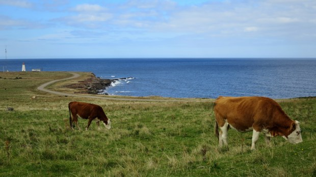 Cows grazing near Enragee Point Lightstation, Cheticamp Island, Nova Scotia, Canada