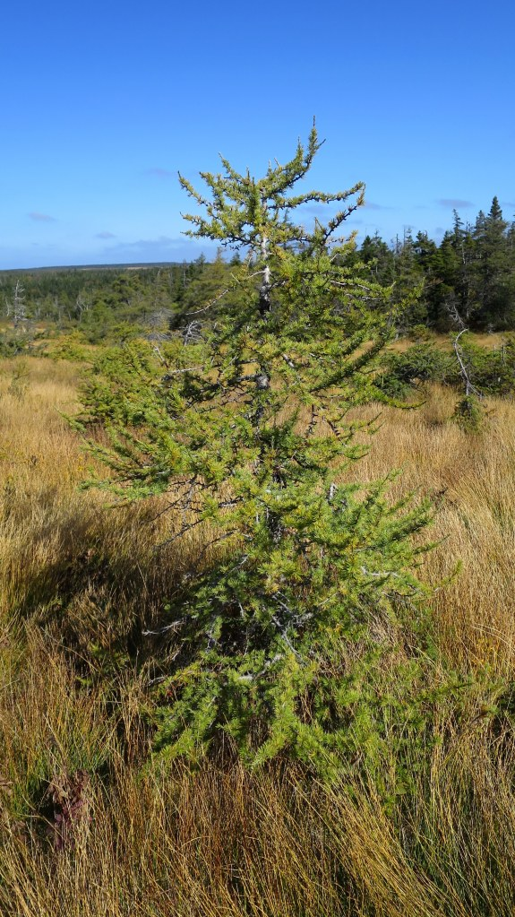 No. 1 – The Larch... The Larch (a dwarf version), French Mountain Bog Trail, Cape Breton Highlands National Park, Nova Scotia, Canada