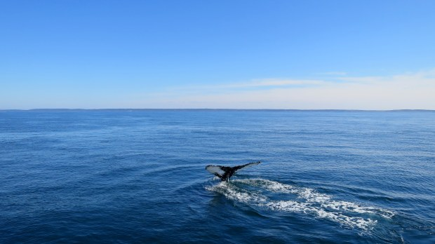 Humpback whale fluke, Bay of Fundy, Nova Scotia, Canada