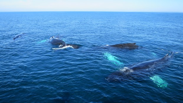 Humpback whales logging and getting ready for a dive, Bay of Fundy, Nova Scotia, Canada
