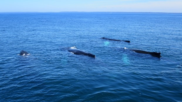 Humpback whales logging, Bay of Fundy, Nova Scotia, Canada