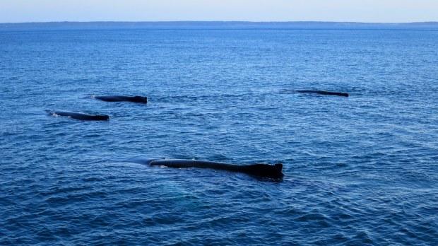 Humpback whales logging, Bay of Fundy, Nova Scotia, Canada