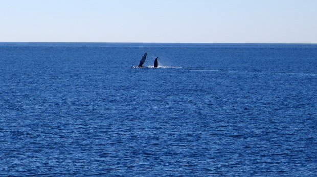 Humpback whale flippering, Bay of Fundy, Nova Scotia, Canada