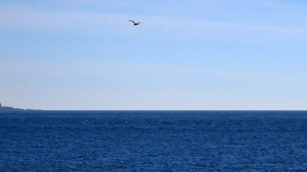 Gannet, Bay of Fundy, Nova Scotia, Canada