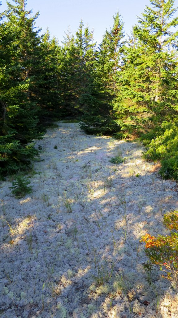 White reindeer moss, Greenwich Dunes Trail, Greenwich, Prince Edward Island National Park, Prince Edward Island, Canada