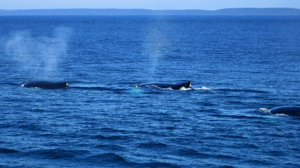 Humpback whale spouting,  Bay of Fundy, Nova Scotia, Canada