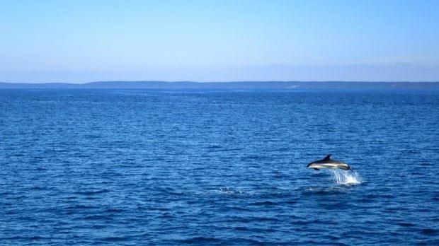 Atlantic white-sided dolphin, Bay of Fundy, Nova Scotia, Canada