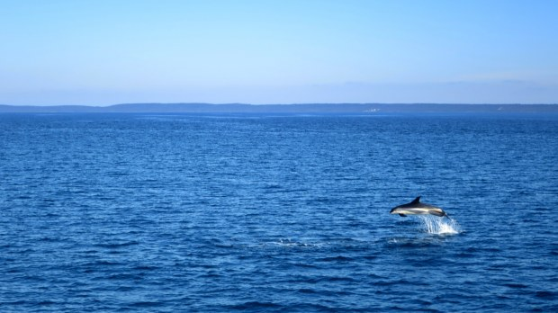 Atlantic white-sided dolphin, Bay of Fundy, Nova Scotia, Canada