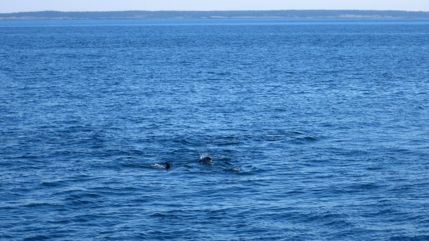 Atlantic white-sided dolphins, Bay of Fundy, Nova Scotia, Canada