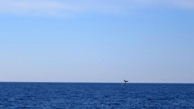 Distant humpback whale fluke, Bay of Fundy, Nova Scotia, Canada