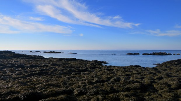 Seals lounging on multiple outcroppings at low tide, Coastal Trail, Brier Island, Nova Scotia, Canada