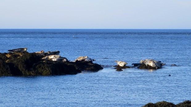 Zoom of seals, Coastal Trail, Brier Island, Nova Scotia, Canada