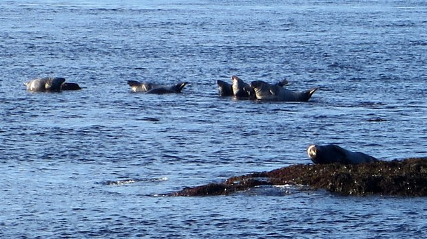 Zoom on more seals, Coastal Trail, Brier Island, Nova Scotia, Canada