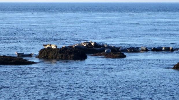 Seals, Coastal Trail, Brier Island, Nova Scotia, Canada