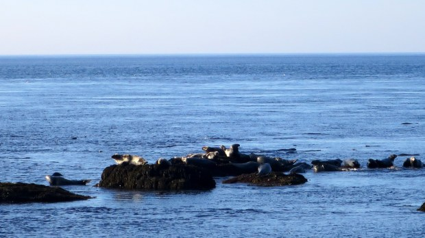Another view of the seals, Coastal Trail, Brier Island, Nova Scotia, Canada