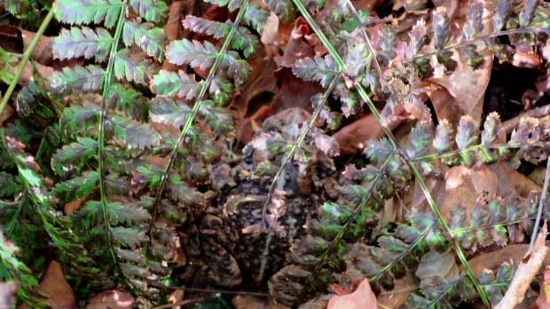 Toad!, Cape Split Trail, Cape Split Provincial Park, Nova Scotia, Canada