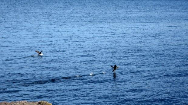 Birds in flight, High Cliff Cove, Digby Neck, Nova Scotia, Canada